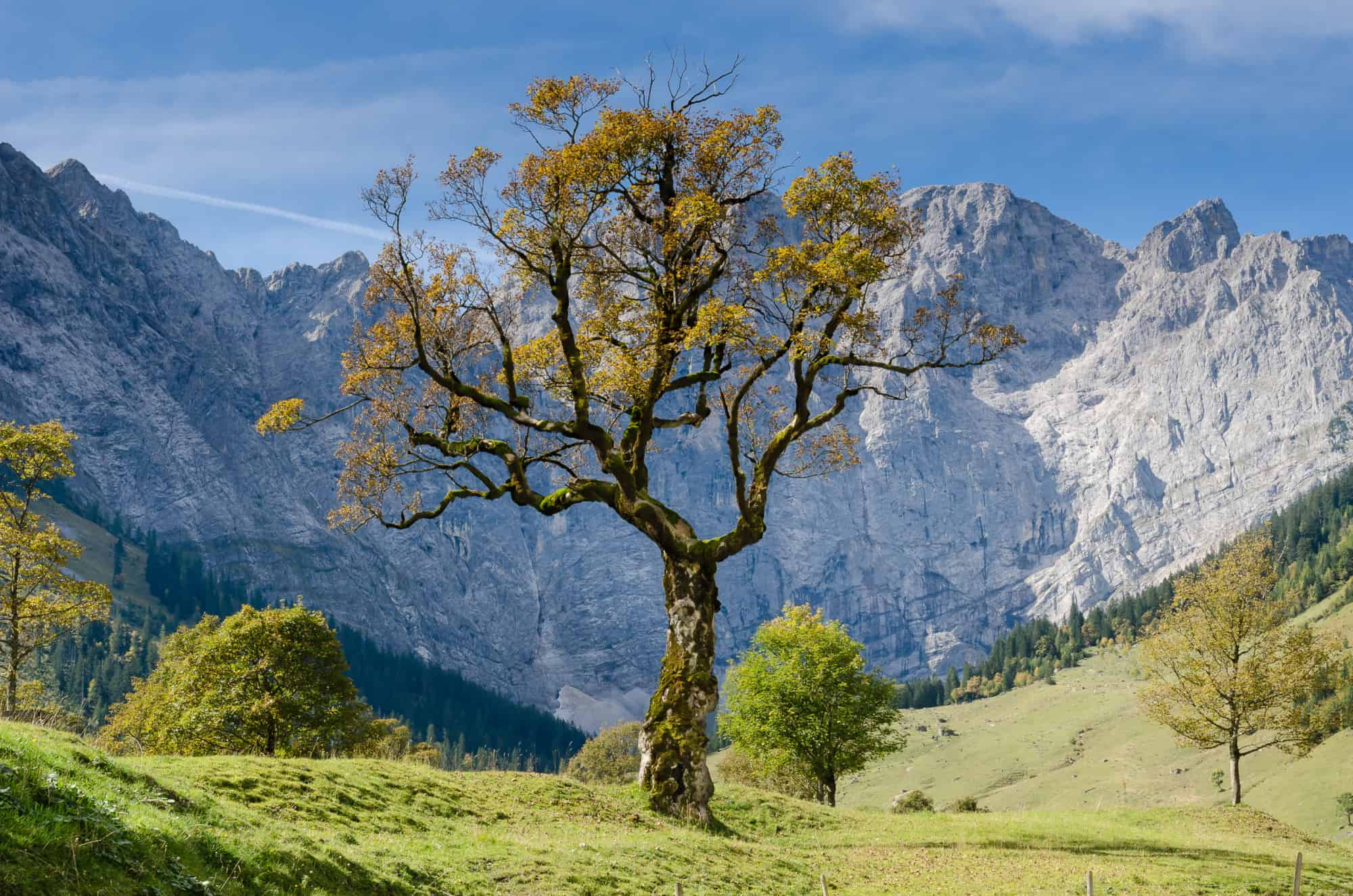 Tree in an alpine valley that looks like it's struggling to survive.